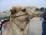 Would you like to have a picture with a camel? (of course, for money)