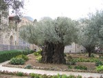 An old olive tree in the Olive garden